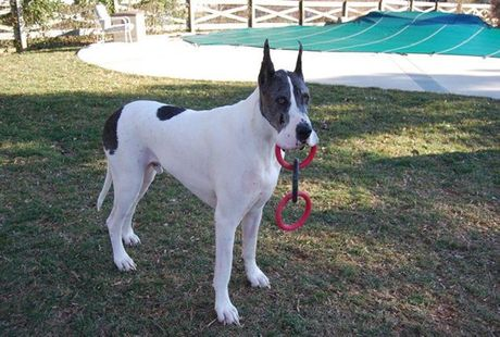 What Are Great Danes Bred For Color of the Breed - E...